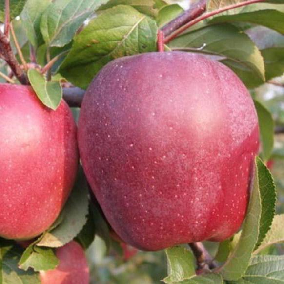 Описание сорта яблони амулет амулеты притягивающие удачу